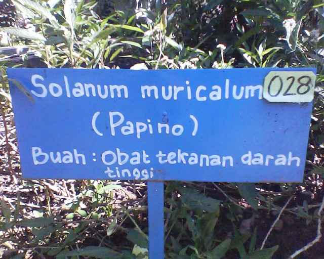 papino Solanum muricalum obat tekanan darah tinggi